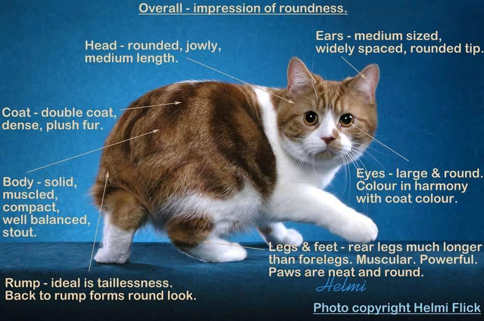 Кто такие мэнксы, и чем они отличаются от других кошек - мир кошек