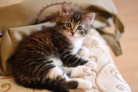 Почему котенок долго не может сходить в туалет по-большому, что делать в домашних условиях: причины и лечение запора