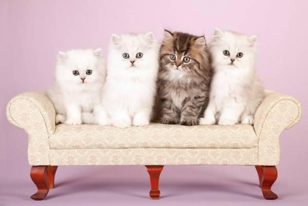 Как вывести запах кошачьей мочи с ковра, если кот написал на него
