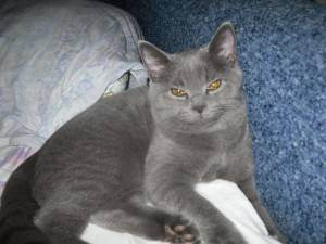 Британская длинношерстная кошка: описание, условия содержания и особенности кормления