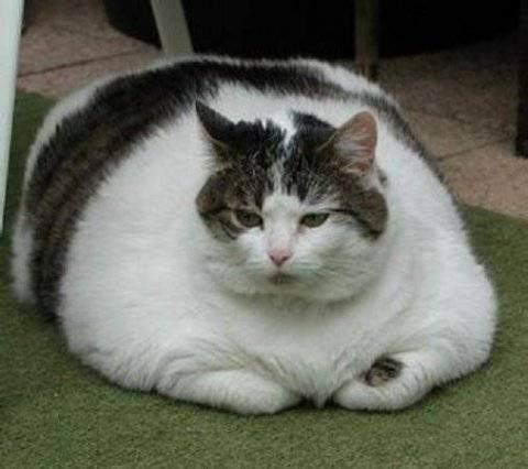 Чем кормить шотландскую кошку