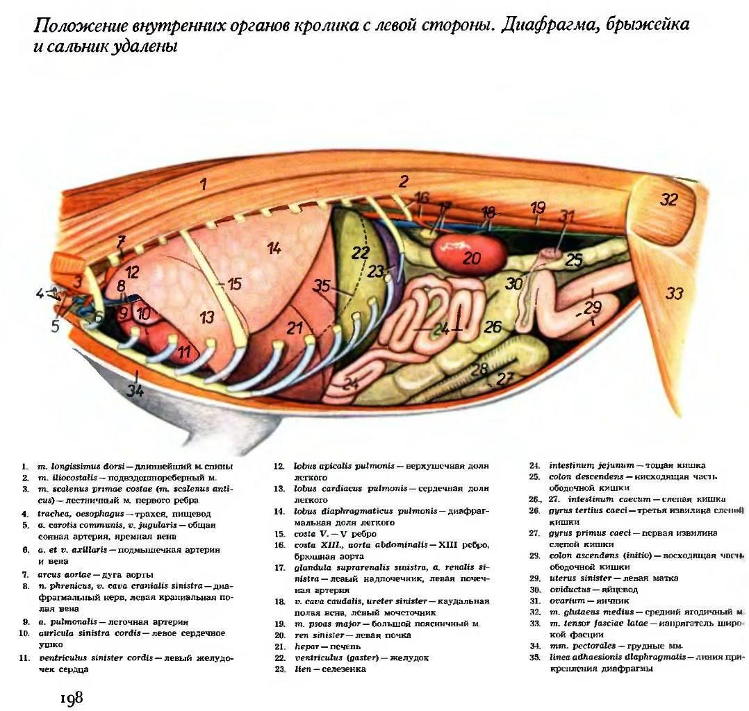 Описание строения внутренних органов кошки и общей анатомии домашнего животного - ваш сад и огород