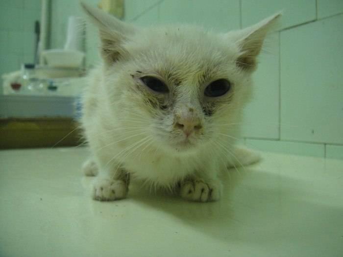 Насморк у кошки: причины и чем лечить