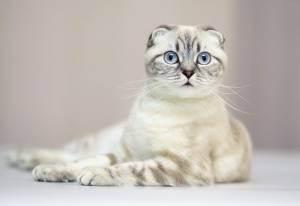 Тег шотландская вислоухая кошка