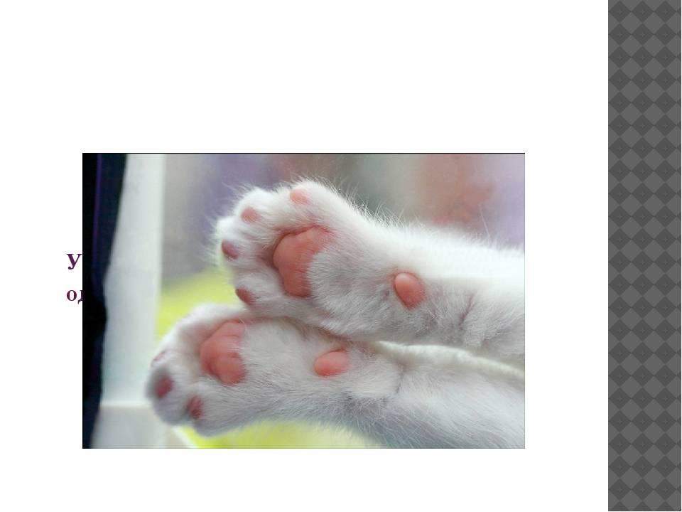 Сколько пальцев у кошек и котов: нормальные показатели, аномалии развития и их причины, интересные факты о полидактах