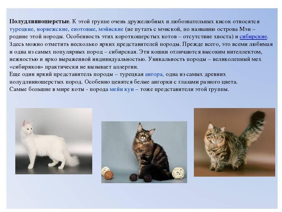 Бразильская короткошерстная кошка: история породы и нюансы ухода