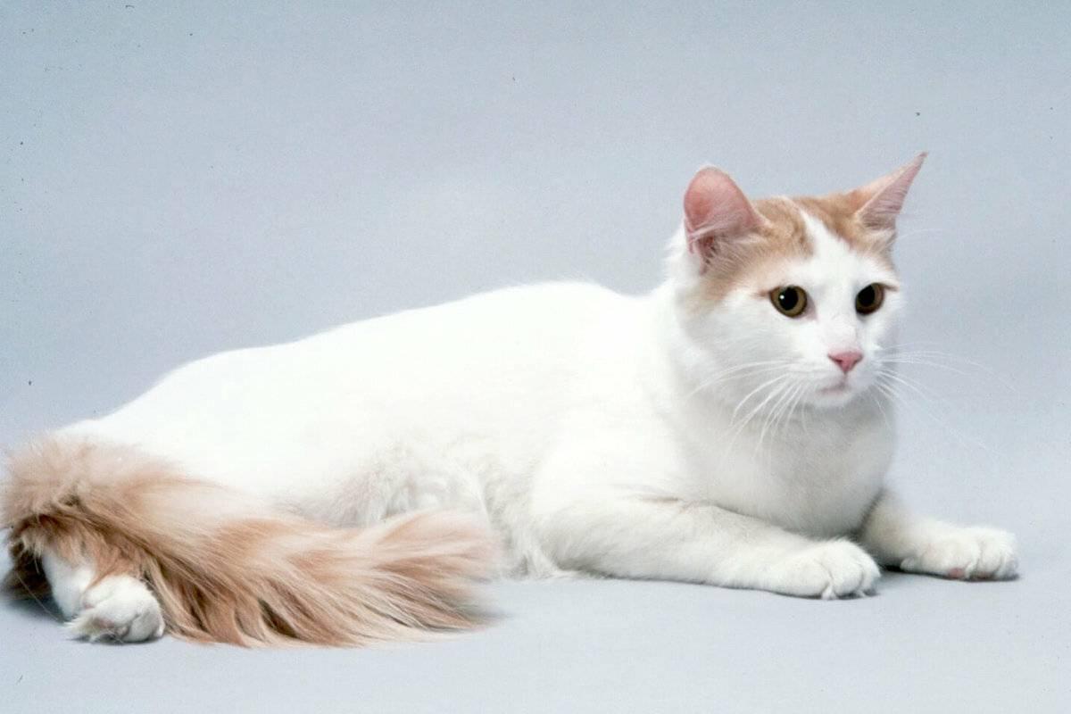 Турецкий ван: 5 поразительных вещей, которые следует знать про эту породу кошек ~ коточек