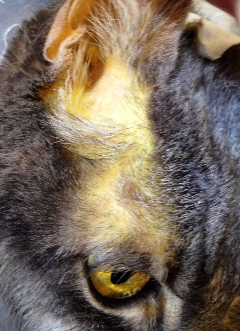 Желтуха у кошек: что это такое и в чем опасность заболевания. желтуха, или гепатит у кошек: симптомы и лечение - заболевания-мед