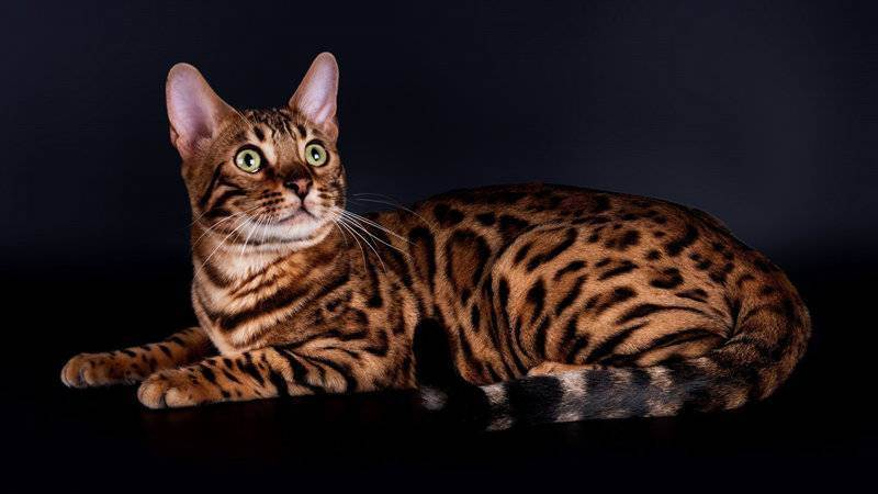 Выбор котенка и питомника. из личного опыта.