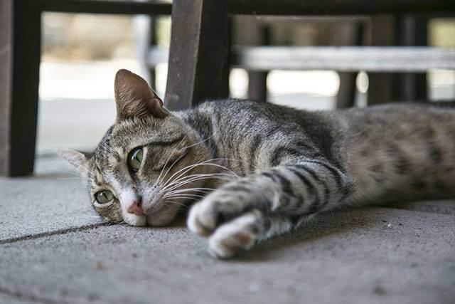 Панкреатит у кошек: причины, симптомы, диагностика, лечение