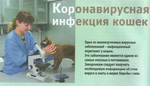 Как лечить фип у кошек народными средствами - муркин дом