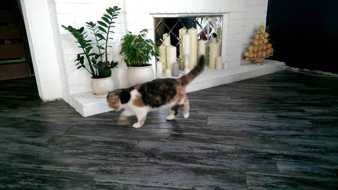 Хромота у кошки: основные причины провоцирующие недуг