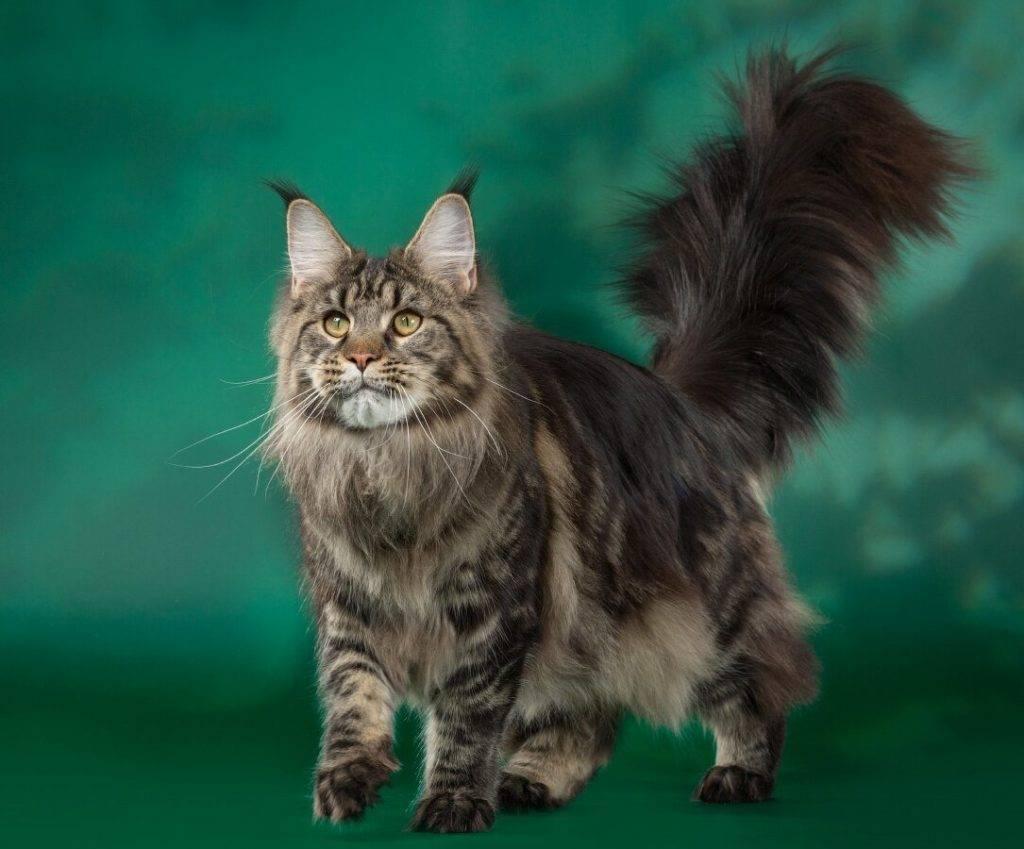 Кошка с кисточками на ушах: название породы