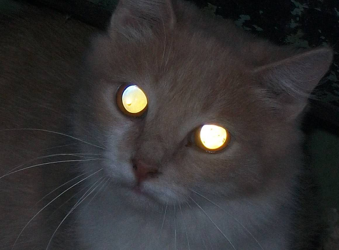 Почему у кошек светятся глаза в темноте: особенности зрения