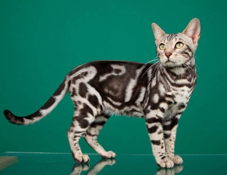 Характеристика котов и кошек породы британец мраморного окраса с фотографиями