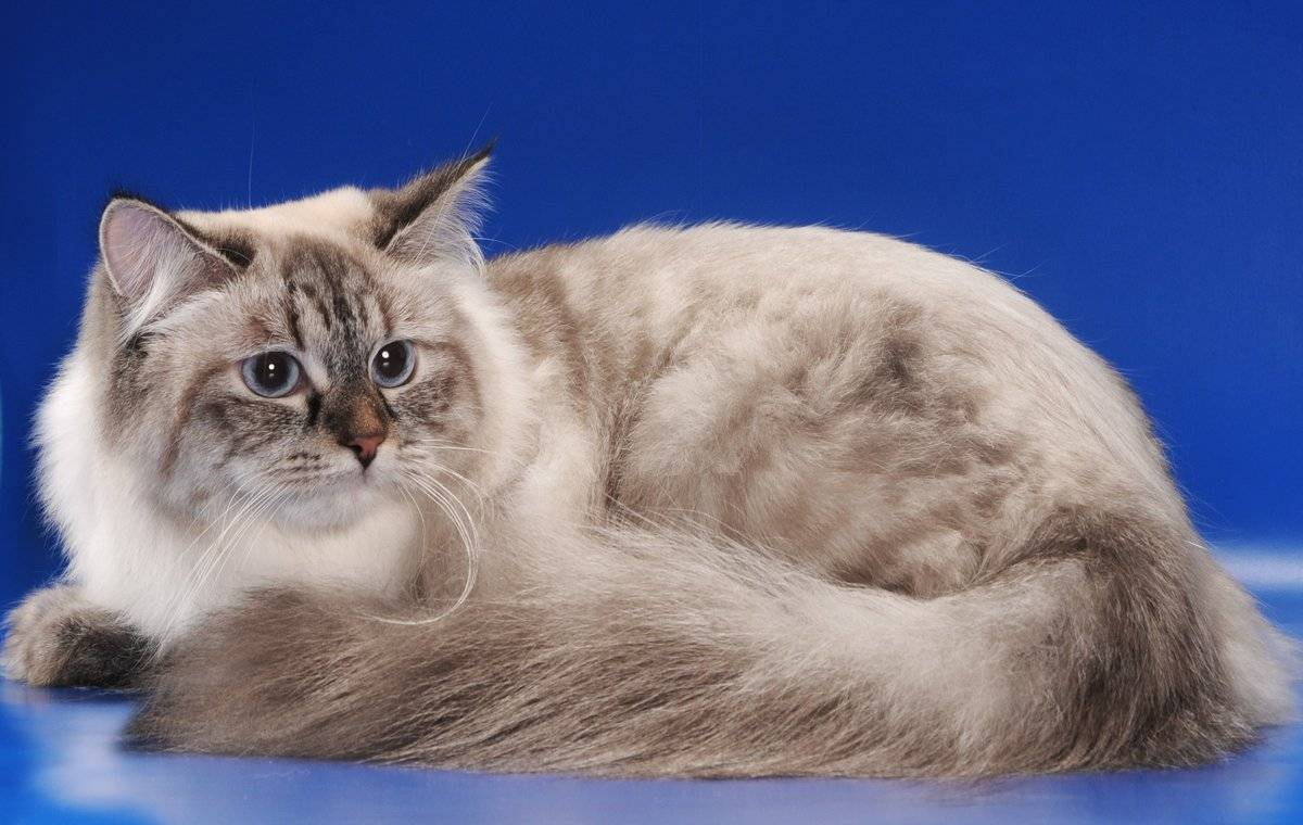 Невская маскарадная кошка: описание породы с фото, особенности ухода за питомцем