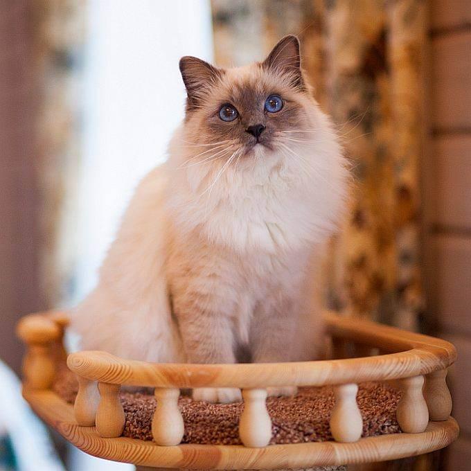 Правильный уход за шотландскими вислоухими котятами