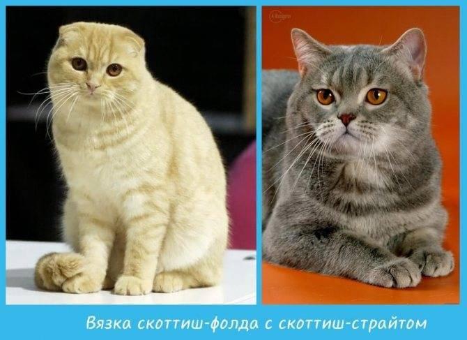 Чем отличаются британские кошки от шотландских