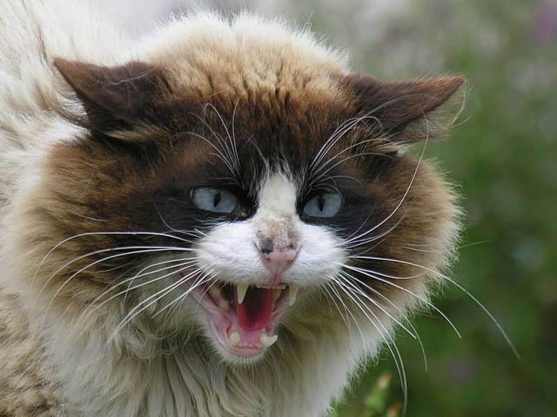 Кот рычит и шипит – причины и лечение