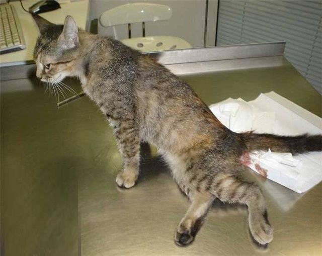 Лечение переломов у кошек