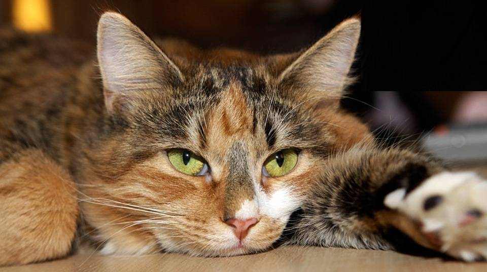 Анемия у кошек - симптомы, лечение, препараты, причины появления | наши лучшие друзья