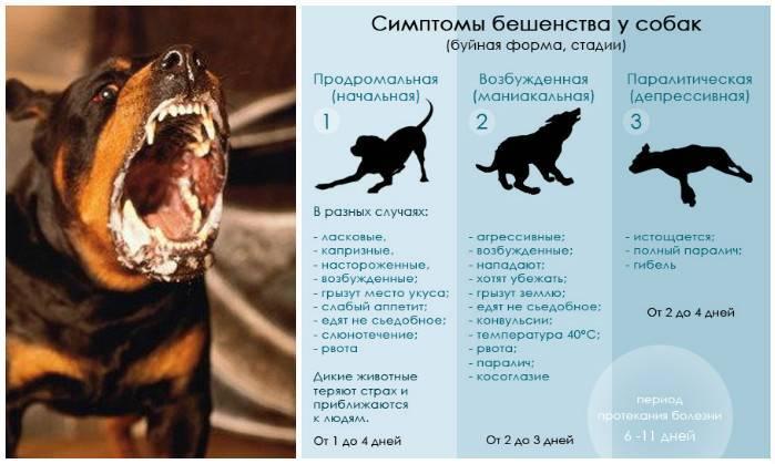 Бешенство у кошек и котов: симптомы, способы передачи, формы протекания, меры предосторожности и профилактика
