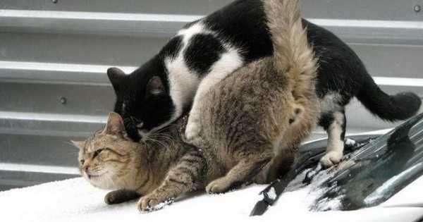 После кастрации кот метит территорию, что делать