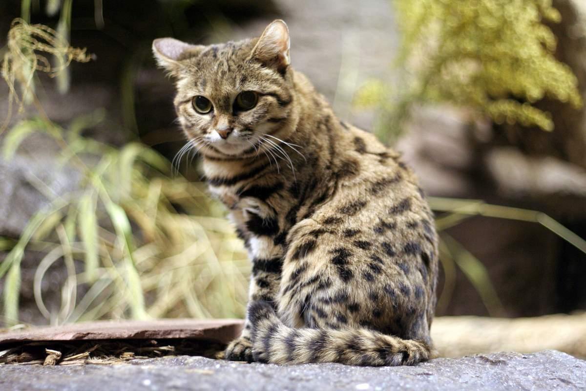 Кошка темминка (азиатская золотая) — как выглядит, где обитает, чем питается, сколько стоит