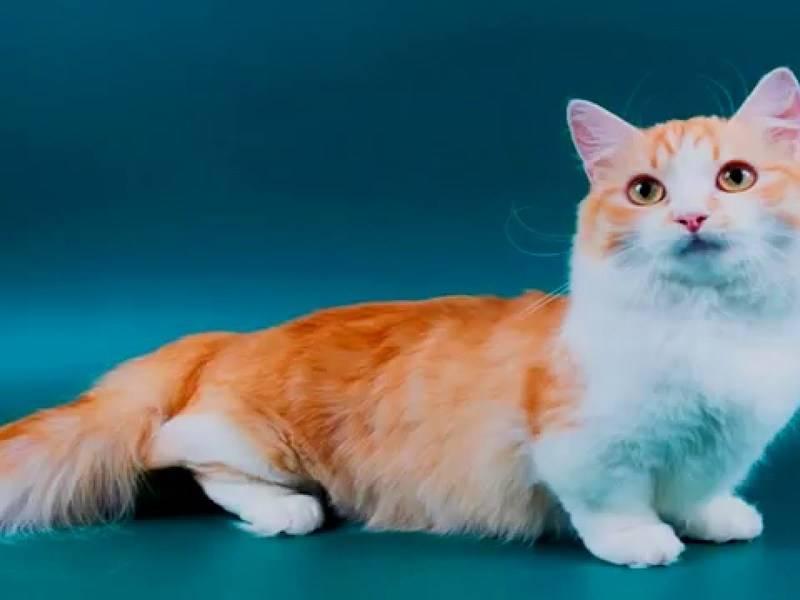 Манчкин: характеристика породы кошек с короткими лапами, история происхождения, уход, питание и здоровье