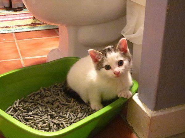 Запор у котенка или кошки - что делать и как помочь дома