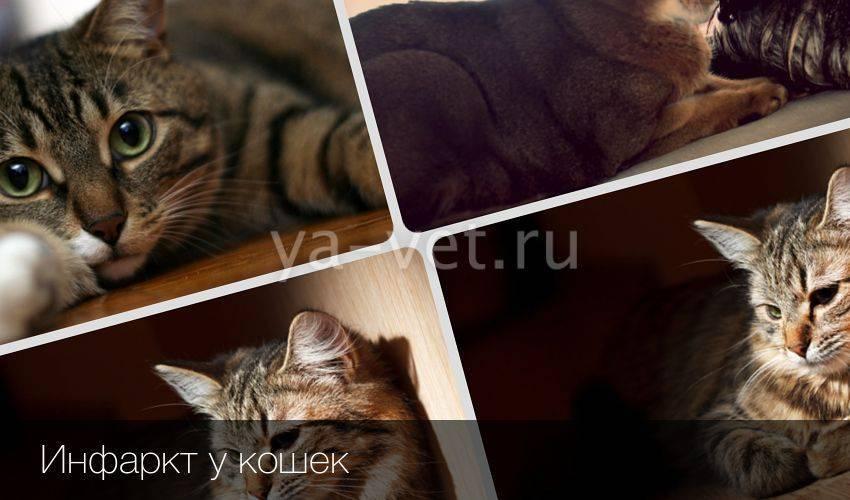 Инфаркт у кошек: причины, симптомы, лечение и профилактика