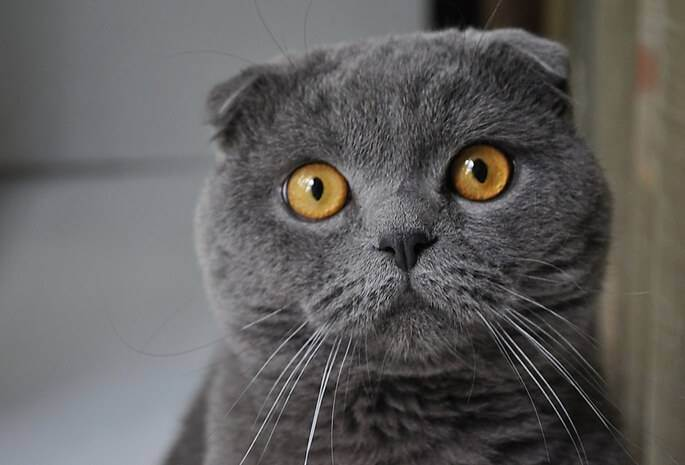 Здоровье и болезни шотландских кошек