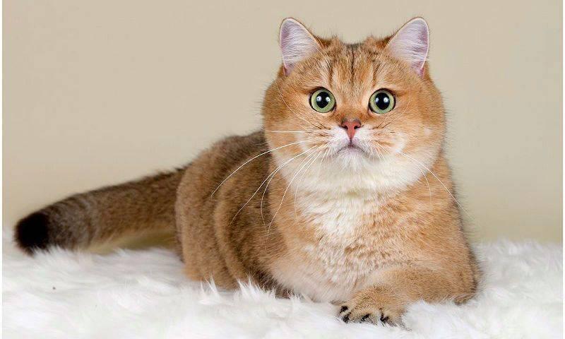 Кошка британская шиншилла: фото, описание породы и особенности характера