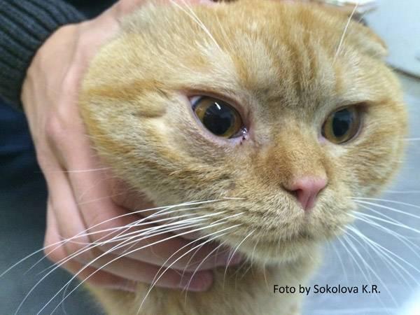 Почему у котенка слезятся глаза | что делать, сопли