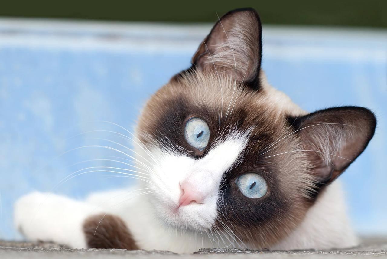 Породы кошек с большими ушами и вытянутой мордой