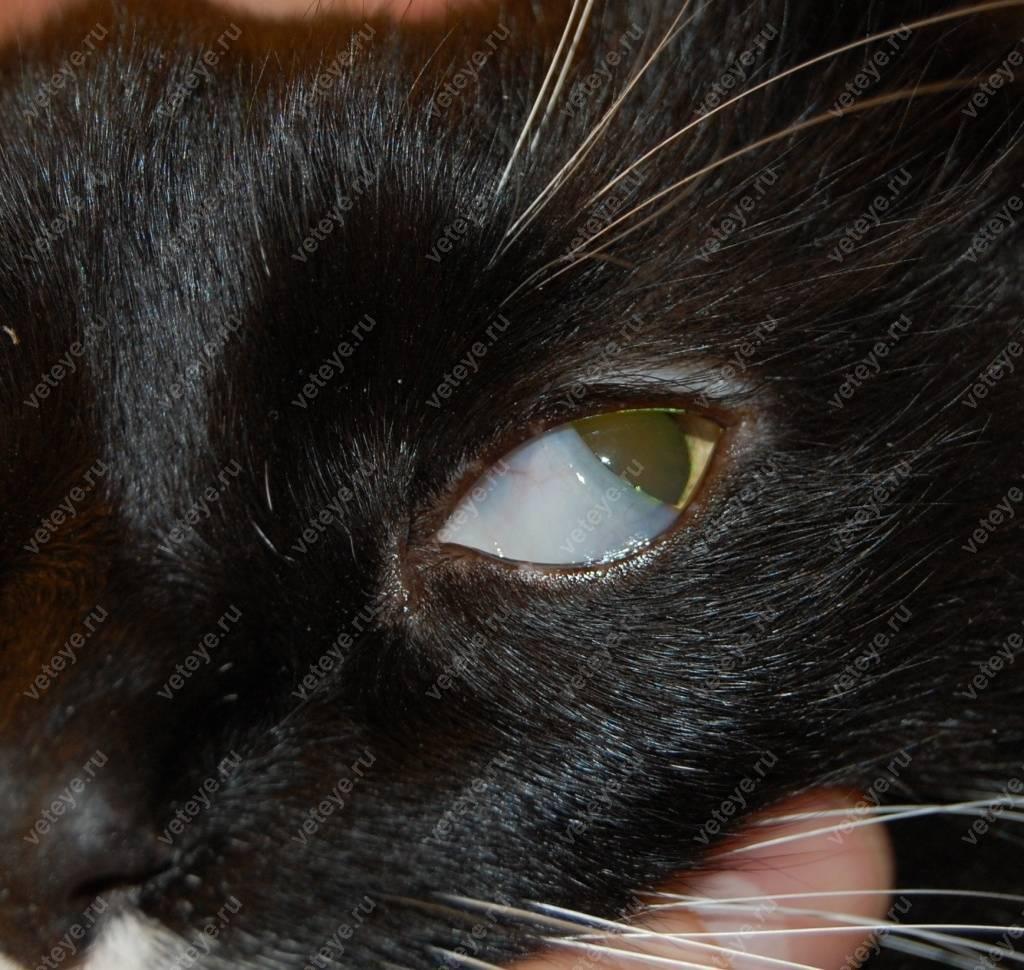 У кота или кошки побелел глаз | болезнь, причина, что делать