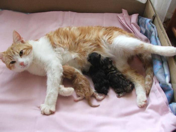 Сколько кошка вынашивает котят: этапы, периоды и особенности