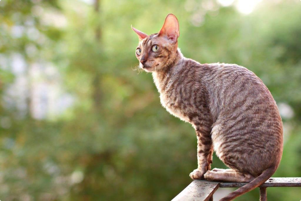 Породы кошек, не вызывающие аллергию на шерсть у людей, и гипоаллергенные коты для человека с аллергическим заболеванием
