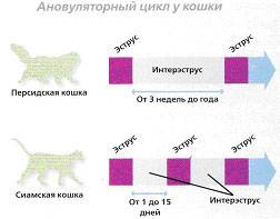 Признаки и сроки полового созревания у котов и кошек: в каком возрасте животные становятся половозрелыми?