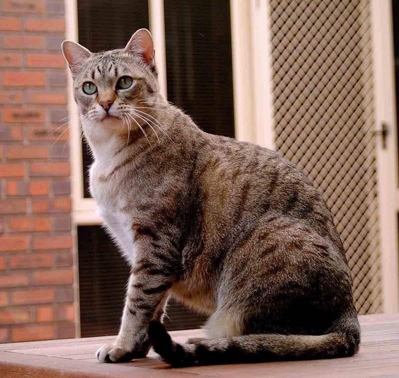 Названия пород кошек, краткое описание некоторых видов с фотографиями