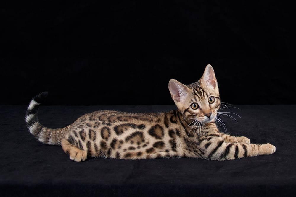 Бенгальская кошка-маленький домашний леопард