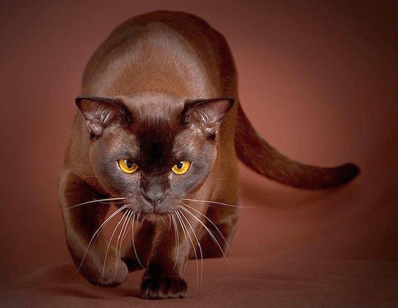 Бурманская кошка: описание породы