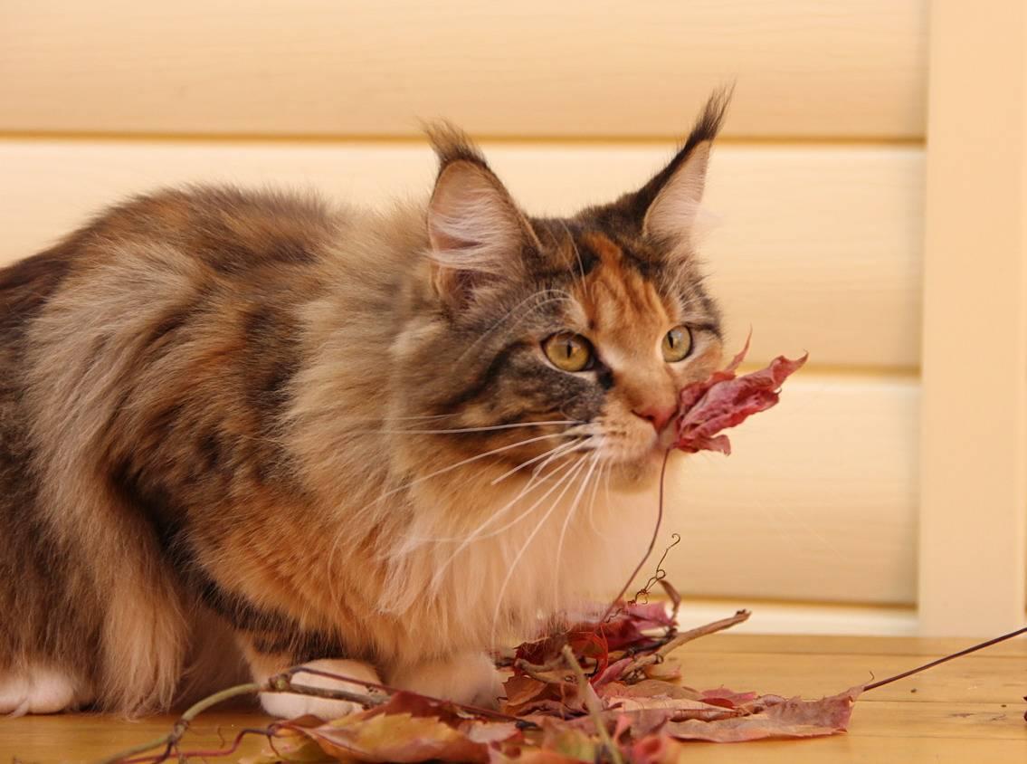 Чем и как кормить мейн-кунов? правильное питание кота. сколько раз ест в день здоровая кошка? кормление для набора веса, можно ли включать в рацион молоко
