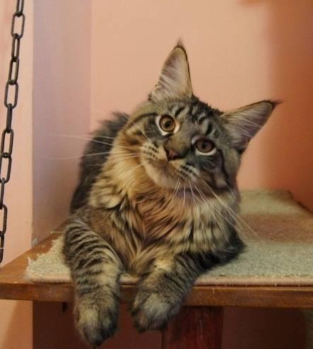 Котенок мейн кун-таблица веса по месяцам, питание, уход