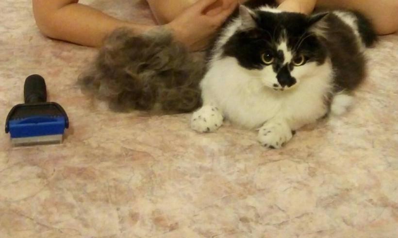 Фурминатор для кошек: какой выбрать, как пользоваться, фото, видео фурминатор для кошек: какой выбрать, как пользоваться, фото, видео