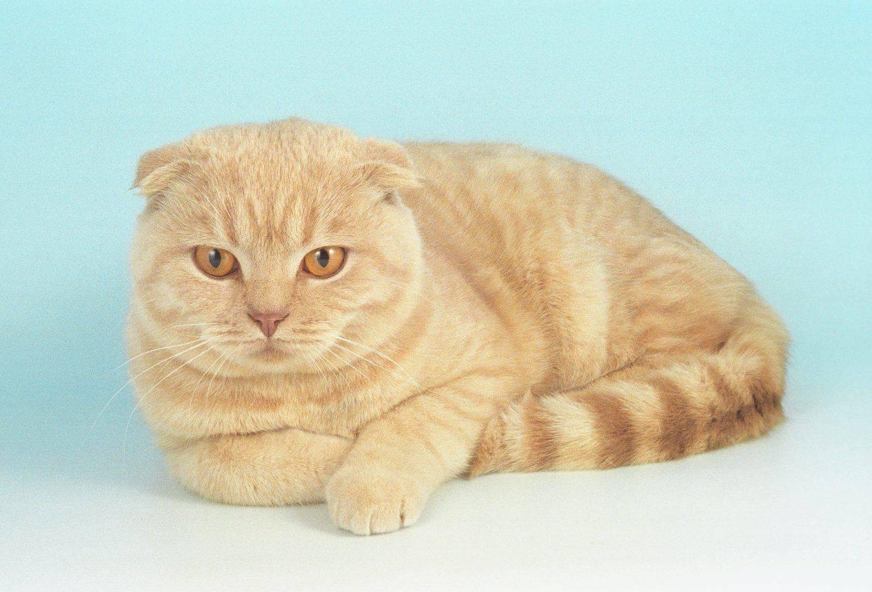 Как называются кошки с большими длинными ушами и вытянутым носом: фото и названия пород