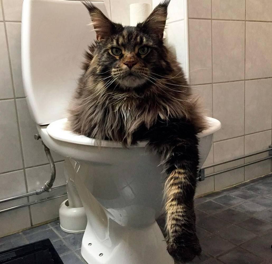 Туалет для мейн-кунов / хабр