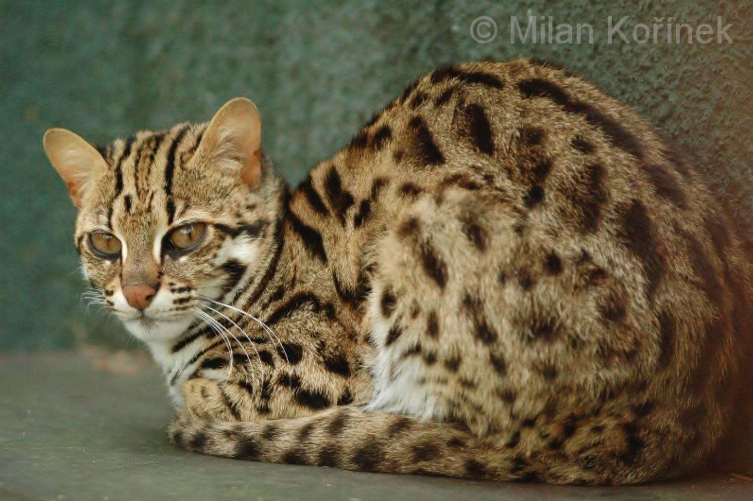 Дикий степной кот: описание внешности, характер, среда обитания и образ жизни, фото