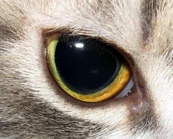 Глаза кошки: как они устроены?