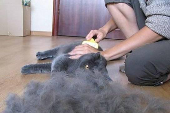 Что делать если лезет шерсть у британского кота?